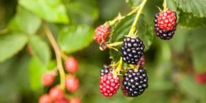 figure-blackberry